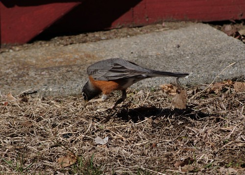 Robin, Pouncing
