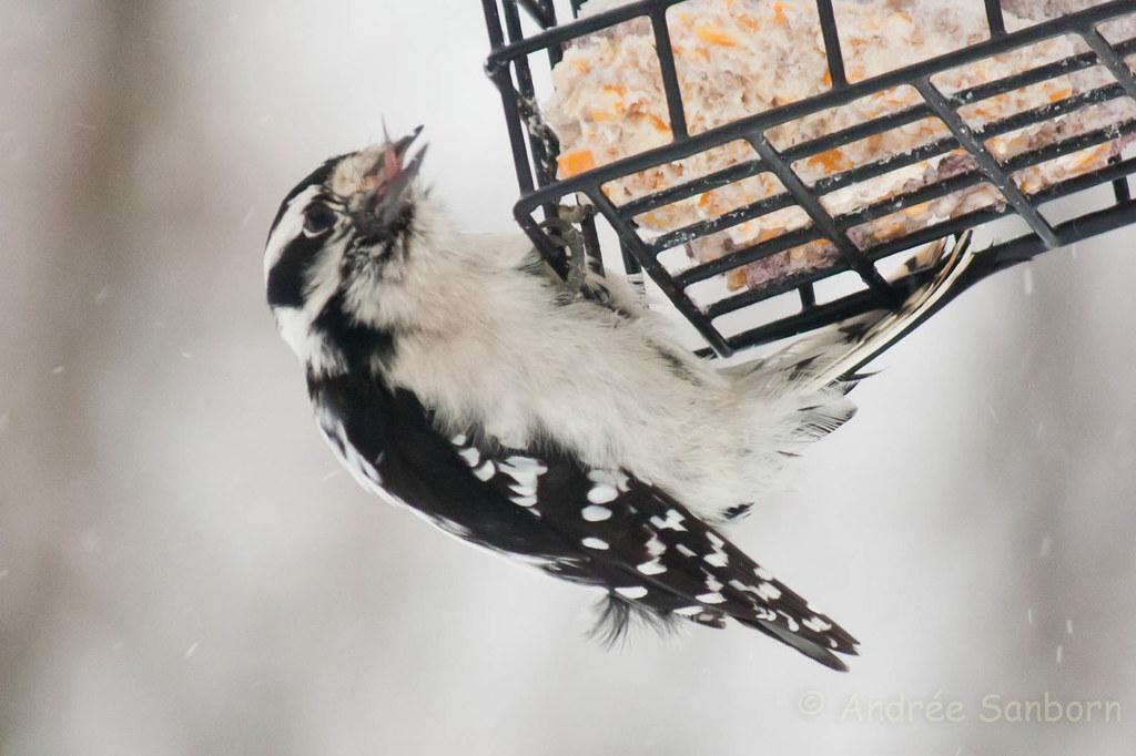 Downy woodpecker (7 of 8).jpg