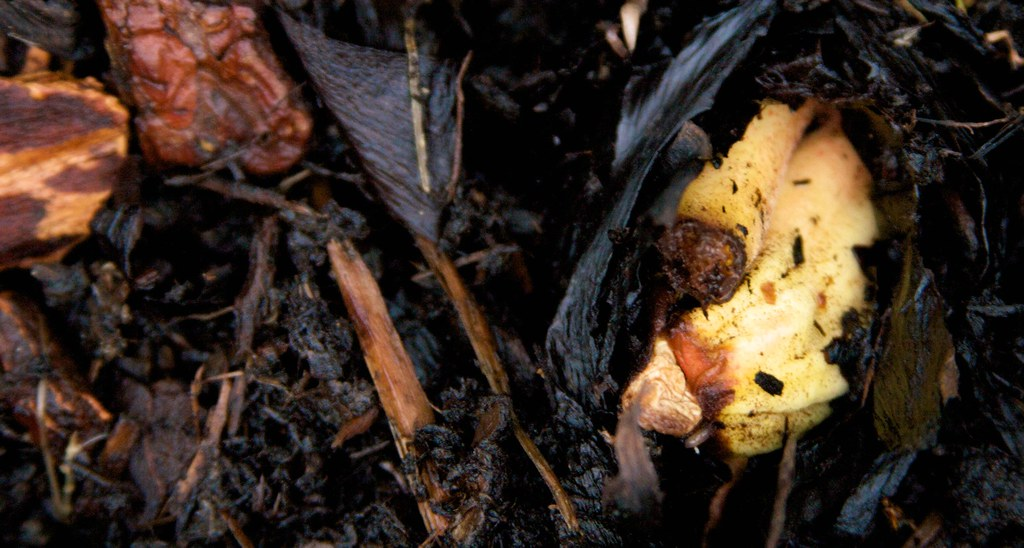 rheum palmatum tanguticum March 30, 2011  027