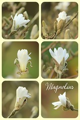 magnolias (annie in alba) Tags: magnolias