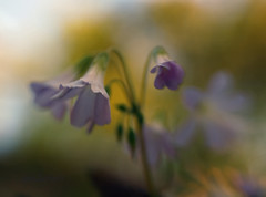 Purple Leaf Oxalis (Anne Worner) Tags: pink blur lensbaby soft bokeh oxalis selectivefocus woodsorrel anneworner swee35