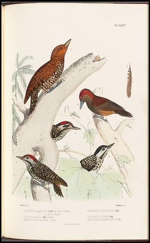 Dendropicus fulviscapus + Celepicus fraseri + Mesopicus sanguinolentus