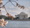 Blossoms Plus (Cocoabiscuit) Tags: monument cherry washingtondc dc washington memorial jefferson jeffersonmemorial blossum d300 cherryblossum photomatix cocoabiscuit
