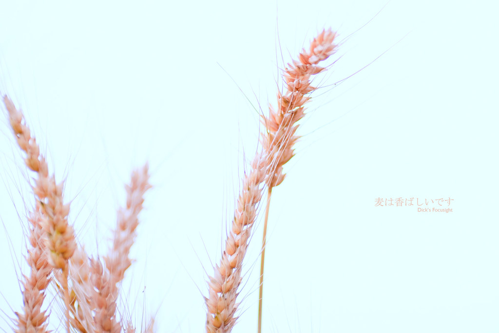 +麦は香ばしいです+
