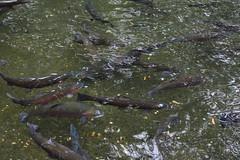 Columbia River Gorge - Bonneville Dam - Fish Hatchery - Trout (jrozwado) Tags: northamerica usa oregon columbiarivergorge bonneville dam hatchery fish trout nationalscenicarea nationalhistoricdistrict