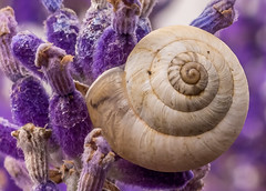 Miniature Snail (Anthony White) Tags: snail nature lavender purple somerset uk gb shell macro alpha sony summer outdoor handlewithcare nopeople miniature coiledshell snailonplant molluscanclassgastropoda sony30mmmacro f28lens
