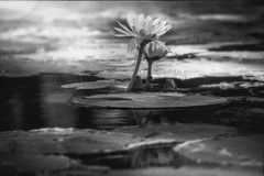 Fairy Tale (jenni 101) Tags: hmbt monochomebokehthursday bokeh monochome waterlillies