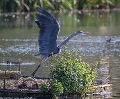 9Q6A6798 (2) (Alinbidford) Tags: alinbidford alancurtis brandonmarsh kingfisher greyheron heron kestrel