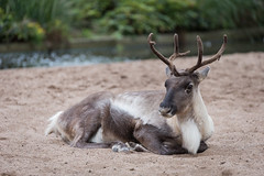 2016-10-01-18h24m32.BL7R0022 (A.J. Haverkamp) Tags: canonef100400mmf4556lisiiusmlens amsterdam noordholland netherlands zoo dierentuin httpwwwartisnl artis thenetherlands rendier rangifertarandus reindeer nl