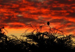 Early Bird..x (lisa@lethen) Tags: bird silhouette sunrise dawn morning weather nature red