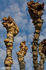 girdled (Lisa Ouellette) Tags: winter tree bondage magnolia tied strangled winterlight gasp restraints belted girdled
