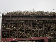 Transport of harvested sugar cane, Peru