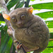 EXPLORED :) - Philippine Tarsier (Tarsius syrichta)