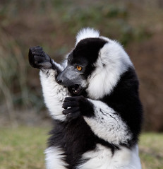 Lemurs (jontlaw) Tags: zoo birmingham lemur dudley