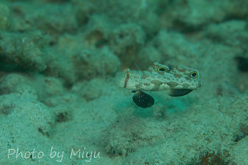 Twinspot goby, looks like crab eyes!