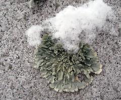 winter ohio cemetery cincinnati fungus lichen xanthoparmelia