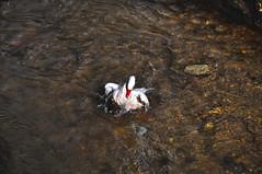 Nadando en el agua... (levequephotography) Tags: water animal animals rio photoshop river tiere duck  agua nikon vogels aves ave pato 1855 animaux vgel ente animais dieren  animali animale hdr canard  oiseaux dyr elimet 18105 djur  hayvanlar kachna    arriate lacha ivotinje cs5  d5000 nikonista  in ainmhithe ptk
