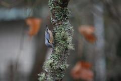 IMG_7669 (Natural Kingdom) Tags: sittaeuropaea eurasiannuthatch 茶腹鳲 鳲科