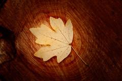 A la recerca del sentit dels dies sense sentit. ([Lapicero]) Tags: wood hoja leaf madera blatt holz fusta fulla