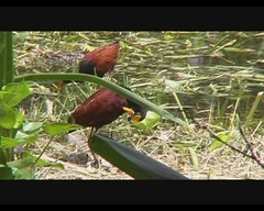 Jacana spinosa (Northern Jacana) (Arthur Chapman) Tags: birds video costarica aves jacana inbio spinosa northernjacana jacanaspinosa santodomingodeheredia taxonomy:class=aves taxonomy:kingdom=animalia taxonomy:phylum=chordata taxonomy:order=charadriiformes geocode:accuracy=200meters geocode:method=googleearth geo:country=costarica taxonomy:binomial=jacanaspinosa taxonomy:genus=jacana taxonomy:common=northernjacana taxonomy:family=jacanidae geo:region=centralamerica