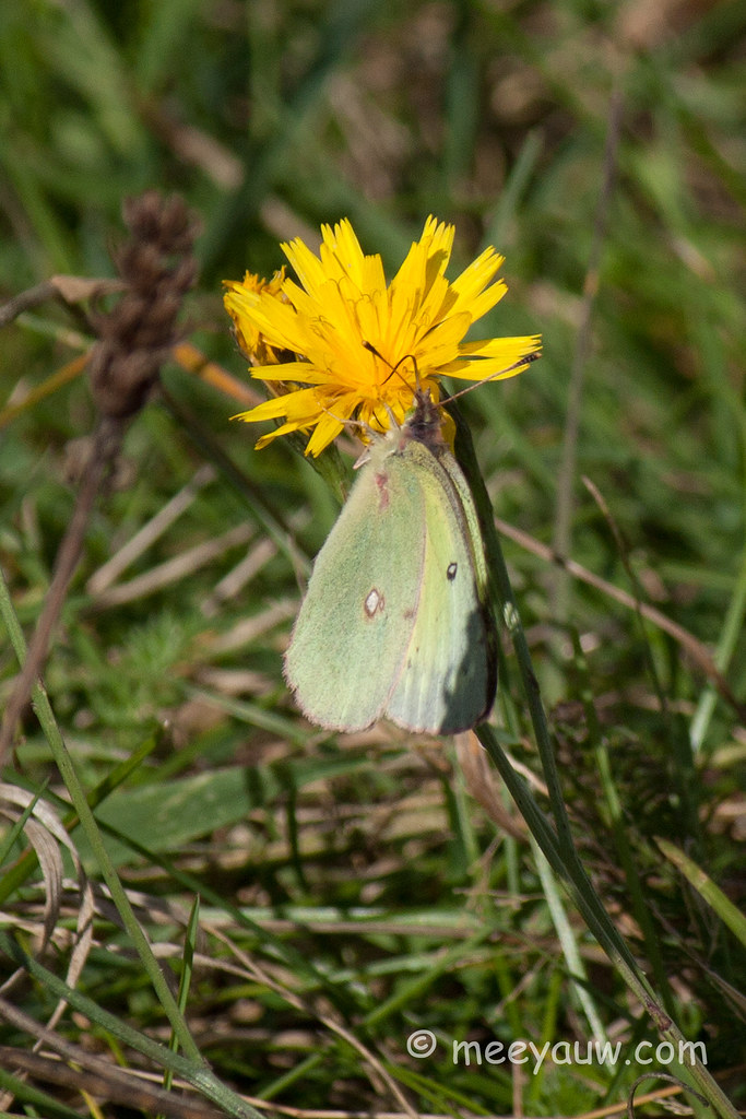 Pink-edged Sulphur    12.jpg
