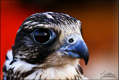 Arab Falcon-l (njjm) Tags: camera canon lens eos aperture exposure time 100mm iso 7d 100 mm sec length f28 1125 focal