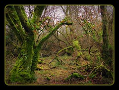 A dose of messy mossy tangled in branches (Dazzygidds) Tags: uk england walking devon lichen dartmoor widecombeinthemoor dartmoornationalpark graniteoutcrops mossytrees twomoorsway thewestcountry bonehillrocks cafeonthegreen britishnationalparks chinkwelltor honeybagtor b3387 bonehillvillage