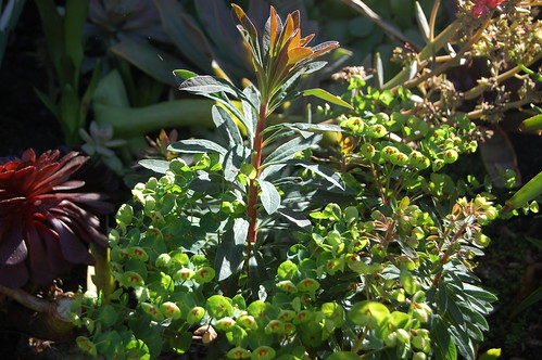 Euphorbia martinii 'Tiny Tim'
