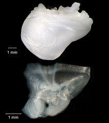 Atlantic Croaker (FWC Research) Tags: fish florida research otolith
