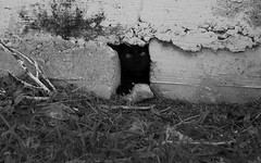Stray Cat Hiding (flat cat) (village idiot!!) Tags: blackandwhite cat blackcat candid streetphotography documentary panasonic abandonded fromthehip feralcat straycat holeinthewall lumixlx5