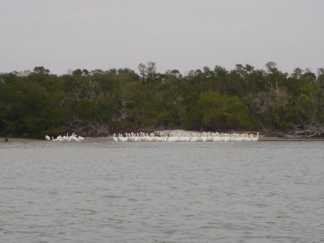 White Pelicans in the 10,000 Islands