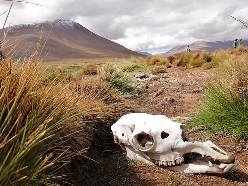 Llama Skull