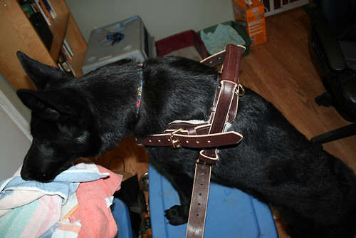 This picture is at a really wonky angle, please forgive.  It shows Sid, a black Shedder who is seven months old, wearing a dark brown leather harness which has a stiff handle (actually reinforced with metal) sticking up 3 inches above his backbone.  Imagine a guide dog harness (the kind where the straps go over the shoulders instead of across the chest) if the handle was rigidly attached to the harness so it went straight up, and also very short.  His front feet are up on a blue rubbermaid box which is about 16 inches wide by 2 feet long.