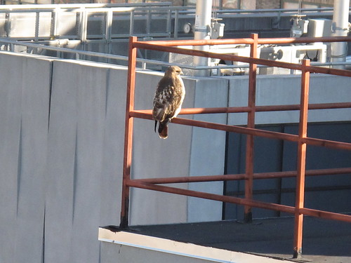 Hawk on a neighboring downtown manhattan rooftop