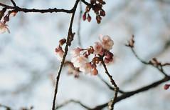 11 (oh.my.) Tags: japan tokyo blossoms plum 東京 ume hanami 梅 梅の花 花見 はなみ