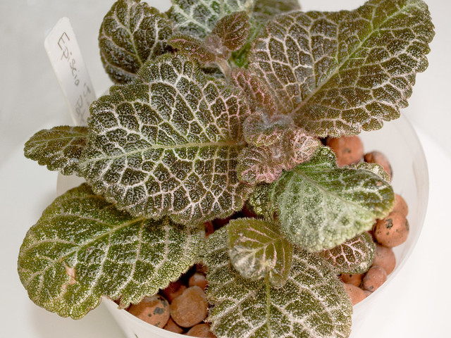 Episcia 'Jim's Patches' - Full Plant