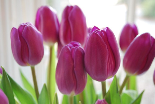 Valentine's Day tulips