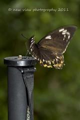 Feb-19-2011_Magic-Wings_516 (fifer1812) Tags: butterflies southdeerfieldma canon7d fifer1812 newviewphotography midctphotographyclubmeetup magicwingsbutterflyandgardensconservancy