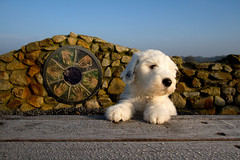 Sarah* explore * (dewollewei) Tags: old english sarah sheepdog pup bobtail oes oldenglishsheepdog sheepdogs oldenglishsheepdogs queserasera sweetexpressionss