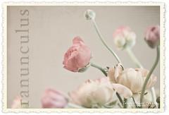 Pale Ranunculus (Christianna Pierce) Tags: flowers texture ranunculus