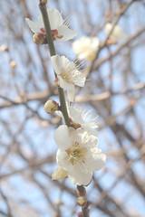 ume blossoms. (yukki.m) Tags: pen olympus ep1  umeblossoms