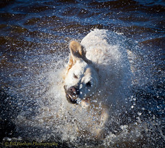 Jackson Swim 3 (w11buc) Tags: dog swimming river aberdeenshire jackson peterhead ugie canoneos7d efs1585mm