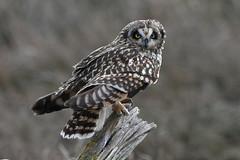 Perched Short Eared Owl (Paridae) Tags: owls shortearedowl birdsofboundarybay