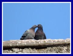 Pigeons in love (Luigi Strano) Tags: love birds animals uccelli animali columbalivia rockdove piccioni rockpigeon  colombi