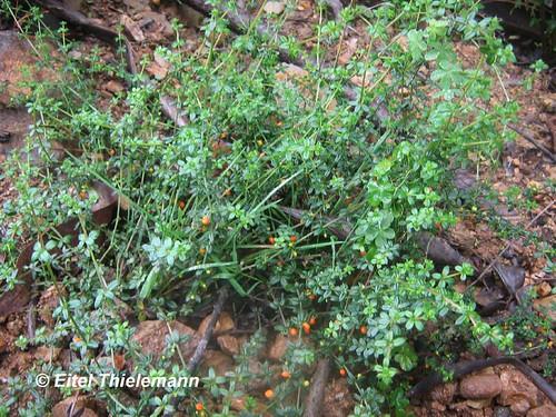 Hábito de <i>Galium hypocarpium</i>