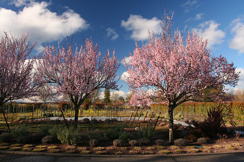 trees in bloom by J Vineyards