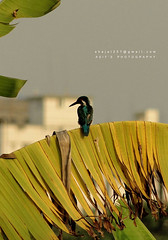 Kingfisher (Asif Adnan Shajal) Tags: kingfisher machranga