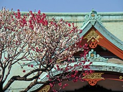 Fiery Red Plum Blossoms and Komeido Tenjin Shrine (Rekishi no Tabi) Tags: japan tokyo  shinto edo plumblossoms  kotoku  umeblossoms  shintoshrines kameidotenjinshrine