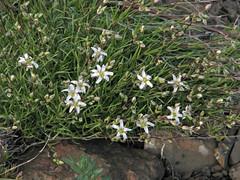 Sandwort (species?) (Wayne Weber) Tags: flowers oregon wildflowers condon sandwort caryophyllaceae arenariasp lostvalleyroad
