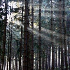 Threading through (Linda6769) Tags: mist tree forest germany haze woods village thuringia sonne sunbeam sonnenstrahl sonnenstrahlen sunray conifer nadelbaum konifere explored vorfrhling prespring brden